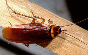bellflower cockroach control